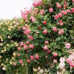 薔薇鑑賞お散歩!【5月28日開催】参加締め切りは26日