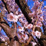 まもなく桜が開花しますよ~