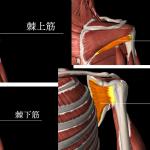 セバトレーナーの水泳解剖学ブログ『泳ぎとローテータカフ(肩甲骨)の関係性』